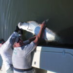 a tampa fisherman with a tarpon